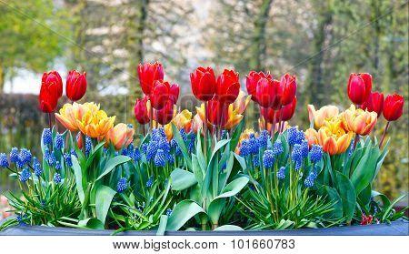 Red-yellow Tulips In Big Flowerpots In Spring Park.
