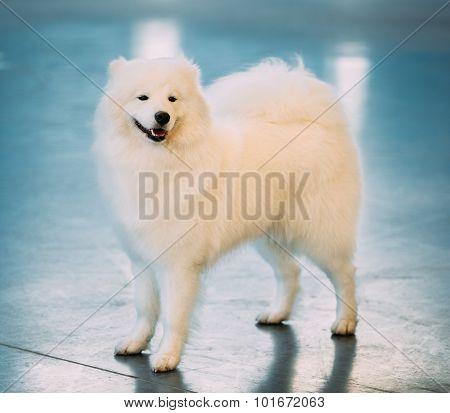White Samoyed Dog Puppy Whelp Standing on Floor