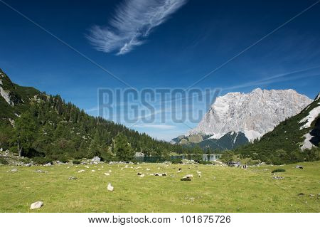 sheeps at mountain meadow with lake seebensee in tyrol