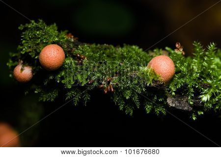 Wolfs Milk, Lycogala Epidendrum With Brown Small Slime Mould Macro