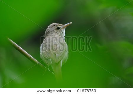 Portrait Of Blyth's Reed Warbler In Green