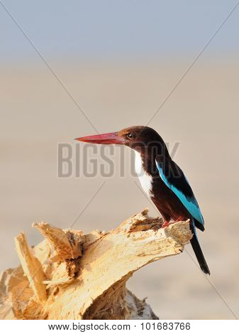 White-breasted Kingfisher On The Dry Snag At Goa Beach, India