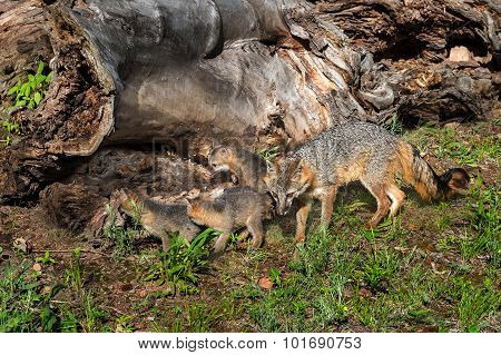 Grey Fox Vixen And Kits (urocyon Cinereoargenteus) Check Out Log