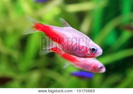 Freshwater fishs - Gold Neon Tetra in aquarium poster