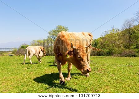 A Curious Dairy Cow Stands In Her Pasture/dairy Cow/a Curious Dairy Cow