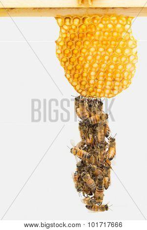 Festooning Italian Honey Bees