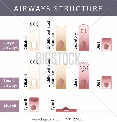 Airways Structure