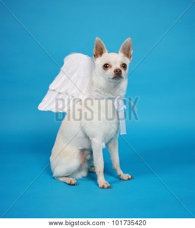 a tiny chihuahua with angel wings on isolated on a blue background