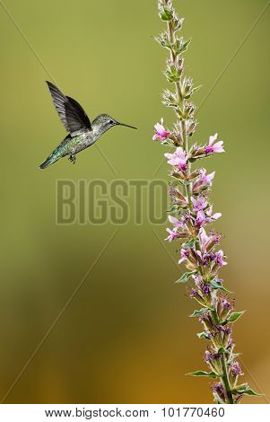 Hummingbird (archilochus Colubris) Hovering Next To A Pretty Lily Flowers Vertical Image