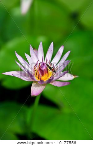 Lotus With Insect.