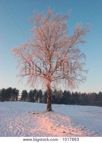 Winter  Suntree