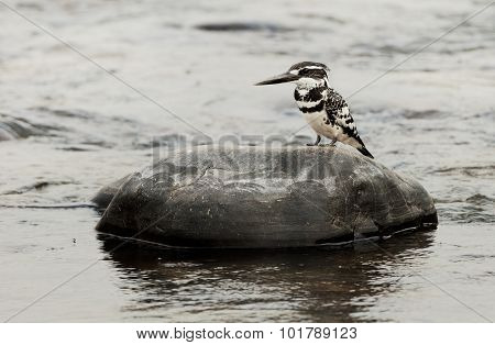 The Pied Kingfisher (ceryle Rudis)