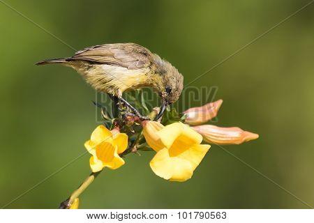 Olive Sunbird (cyanomitra Olivacea) Drinking Nectar From A Pierced Flower