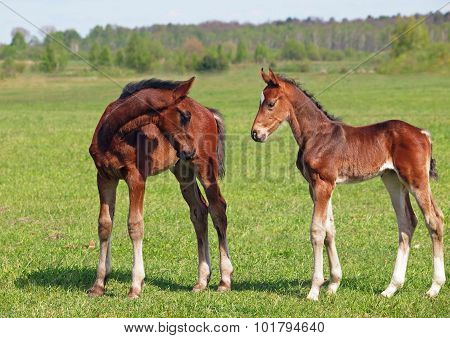 Two bay foals on to the green meadow