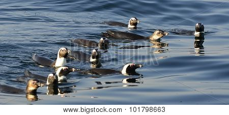 Swimming Penguins. The African Penguin (spheniscus Demersus)