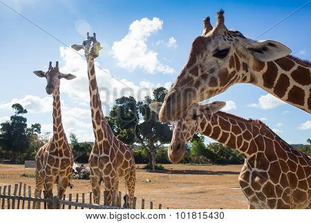 group of Rothschild's giraffes