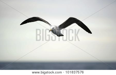 Black Backed Kelp Gull