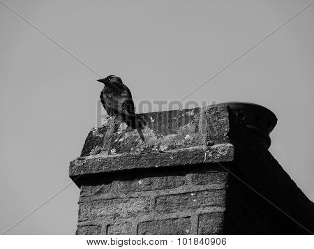 jackdaw on chimney cheeky crow creepy alone