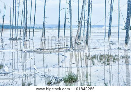 Dead Lodgepole Pine Forest