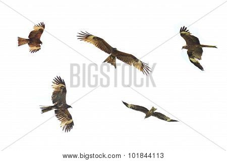 Golden Eagle is flying on white background.