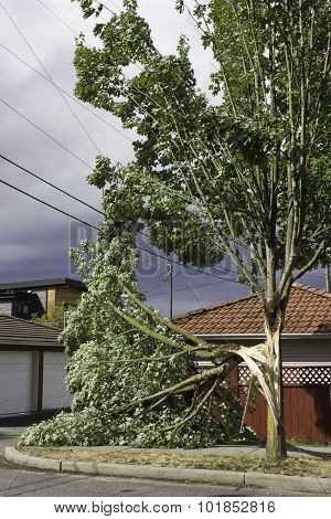 Wind splits tree, tangles wires