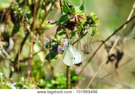 Pieris brassicae Butterfly.September drought.