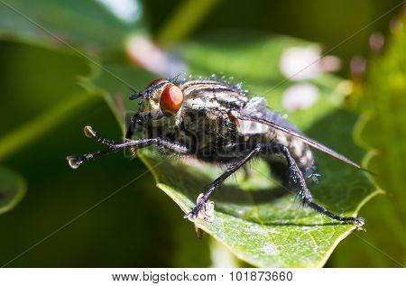 Big Blue Fly