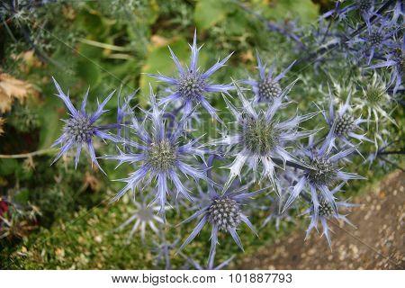 Striking vivid blue sea holly (Eryngium)