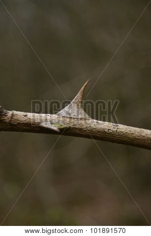Viciously spiny rose thorn with a blurred background of green leaves. poster