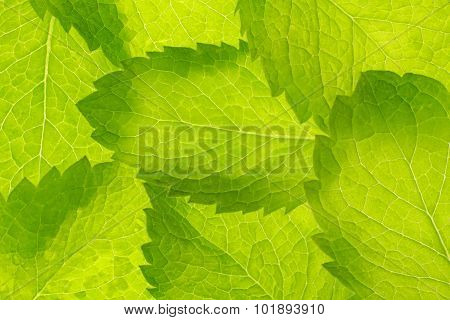Peppermint Leaves Pattern