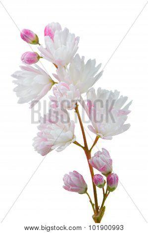 Deutzia Scabra Flowers On White Background