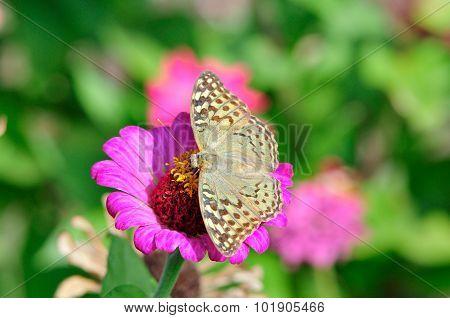 Insect. Butterfly Cardinal (Argynnis pandora).