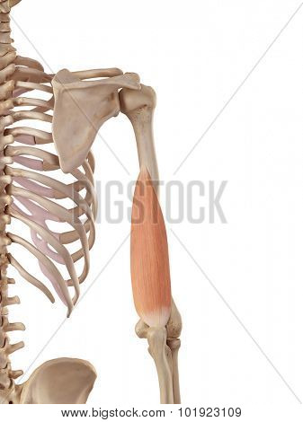 medical accurate illustration of the triceps medial head
