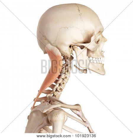 medical accurate illustration of the splenius capitis
