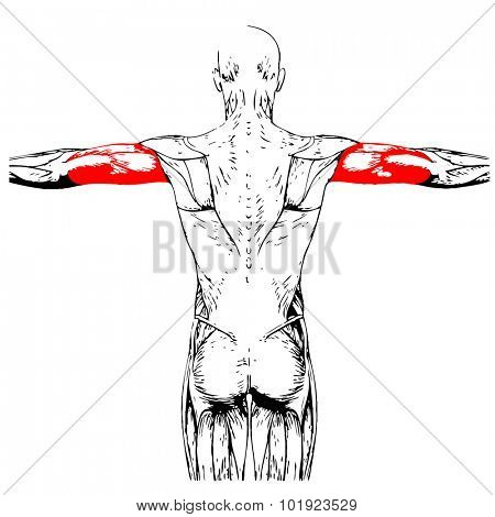 Concept or conceptual 3D triceps human anatomy or anatomical and muscle isolated on white background