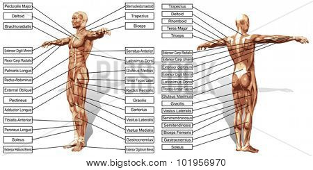 Vector concept or conceptual 3D human man anatomy and muscle text isolated on white background