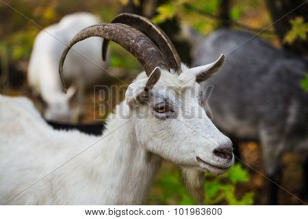 Hornless Brown Goat At The Meadow
