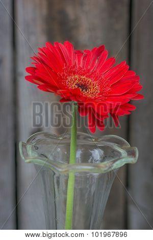 Red Gerbera Closeup