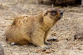 Alpine marmot (Marmota Marmota) in the aviary zoo. The protagonist of the beautiful tradition - Groundhog predicts the weather in Groundhog Day. poster
