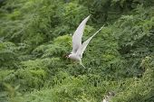 Arctic tern Sterna paradisaea hovering above two hungry chicks poster