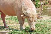 an albino water buffalo grazing in thailand poster
