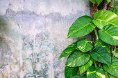 Epipremnum aureum plant growing on cement wall. poster