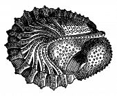 Crustaceans of the Devonian period, Phacops latifrons, Wraps, vintage engraved illustration. Earth before man 1886. poster