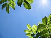 Closeup texture and detail of green foliage with blue sky poster