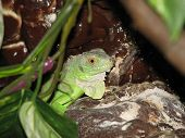 pet baby green iguana in terrarium with leaves poster