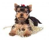 The Yorkshire terrier puppy on white background poster