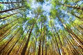 Looking up in pine forest tree to canopy. Bottom view wide angle background poster