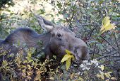 female moose in algonquin park eating in the forest poster