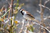 A lone sparrow perched on a tiny twig. poster