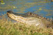 closeup of american alligator on shore of lake poster